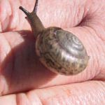The rare boggomoss snail Adclarkia  dawsonensis -  its future is certainly uncertain?  Photo © Robert Standish White