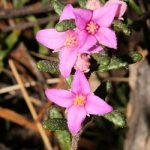 The Endangered Boronia repanda - Girraween National Park  Photo © Queensland Herbarium