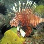 Lion Fish Photo © Jasen Anderson