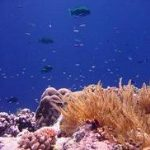 Coral garden with Steephead Parrotfish (Chlorurus microrhinos). North Horn, Osprey Reef, Coral Sea