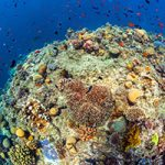 Is the Great Barrier Reef World Heritage Area now safe? The draft Reef 2050 Long-Term Sustainability Plan has been released. The draft document comprised of two components - the Reef 2050 Long-Term Sustainability Plan and the Reef Trust - presents some positives. However, Wildlife Queensland notes its lack of explanation as to how proposed actions will deliver desired outcomes, as well as the absence of an apparent investment strategy. The Australian and Queensland Governments are inviting comment on this overarching plan by 27 October 2014.  The draft plan was a collaborative effort by a broad group of interested parties including scientists, development and industry groups, fishers, government agencies and conservation groups, several of which have been critical of the draft, highlighting significant shortfalls. It is understood participants were given an opportunity to offer comment prior to the release of the document, and that several participant organisations forwarded comments to strengthen the draft document. However, it would seem their comments were noted without necessarily being incorporated.  According to government, the Reef 2050 Plan will satisfy the concerns of UNESCO. UNESCO has delayed its decision to list the Great Barrier Reef World Heritage Area as 'in danger' due to management and potential development decisions that would impact this natural wonder. Some time into next year UNESCO will make its final decision as to whether the Reef 2050 Plan will save the Queensland and Australian Governments from such embarrassment.  Encouragingly, governments are now clearly in a listening mode on particular matters and responding accordingly to public pressure. This is evidenced by their about-turn on sea dumping of dredge spoil in the marine park associated with the Abbott Point development. On the surface, dumping dredge spoil on land appears to be a positive and certainly there should be no dumping in any marine park or immediate environs. However, land dumping, unless conditioned appropriately, has the potential to result in another environmental disaster; the significant Caley Valley wetlands in the vicinity of Abbott Point must not be placed at risk by proposed land dumping.  Further evidence that the Queensland Government is finally listening can be found in their recent action on the use of funnel, round and opera house traps - the killer of platypus and other non-target species in waterways east of the Gore Highway and the Great Dividing Range.