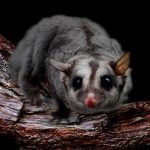 Squirrel glider  Photo ©WPSQ