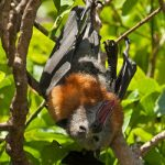 Grey Headed flying fox Photo ©Nick Edards