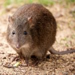 Long-Nosed Potoroo Photo © Andrew Shipway