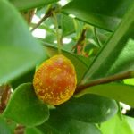 Myrtle rust on beach cherry (Eugenia reinwardtiana) fruit - heavy infection  Photo © Biosecurity Queensland