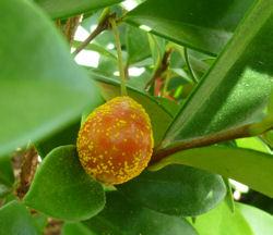 Myrtle rust on beach cherry (Eugenia reinwardtiana) fruit - heavy infection  Photo © Biosecurity Queensland