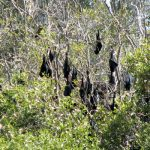 A north Queensland Council showed wisdom and rejected a call to disperse flying foxes without a well thought out plan. Photo © Wildlife Queensland