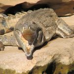 Crocodiles too need to keep one eye on the the LNP's approach to wildlife management Photo © Wildlife Queensland