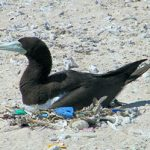Brown Booby nesting with plastic in Swain Reefs Photo © Krista Verlis