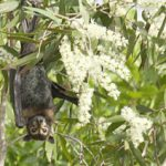 Spectacled flying fox Photo © Helen Douglas