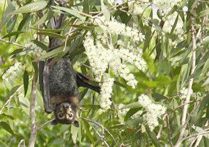 Spectacled flying fox Photo © Helen Douglas