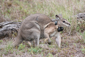 Bridled nailtail wallaby Photo © Bluey Donaldson