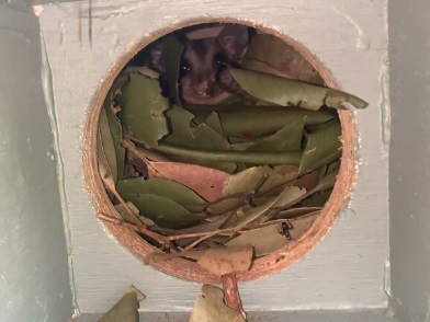 squirrel glider in nest box