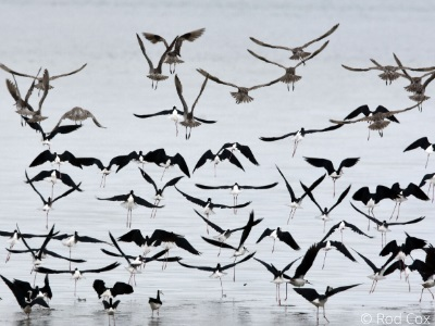 Pied stilts and Bar-tailed godwits
